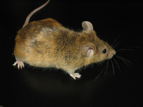 The Colour Basics Mice Petrodents