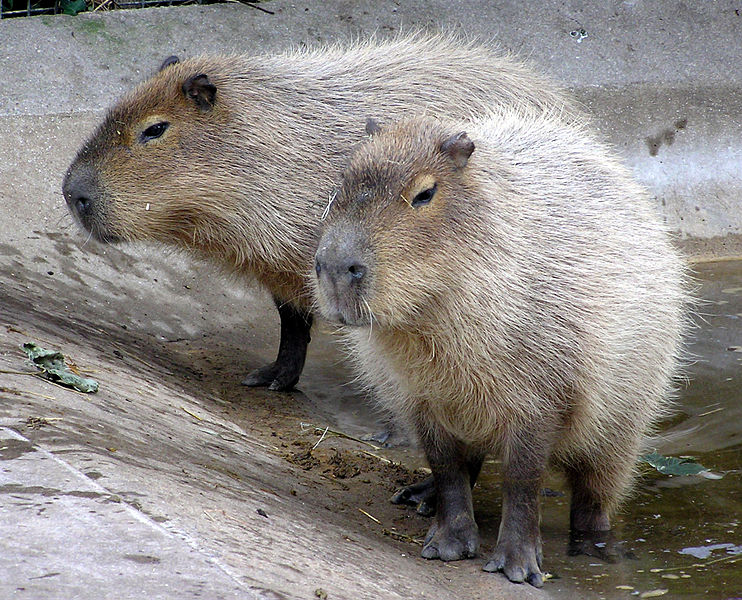 10 Fundamentals About Pest And Vermin Treatment You Didn't Learn In School 742px-Bristol.zoo_.capybara.arp_